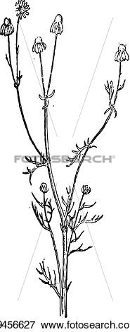 Clip Art of Scentless Chamomile or Anthemis arvensis, vintage.