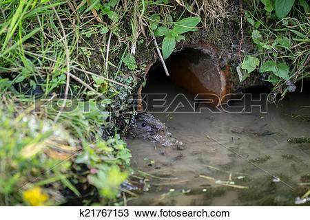 Stock Photo of European Water Vole (Arvicola amphibius) k21767153.