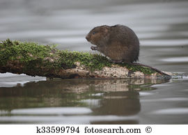 Water vole Stock Photo Images. 121 water vole royalty free images.