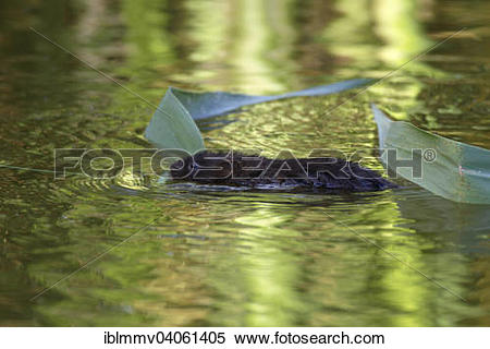 "Stock Image of ""Water Vole (Arvicola terrestris, synonym: Arvicola."