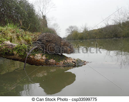 Picture of Water vole, Arvicola amphibius, single mammal by water.