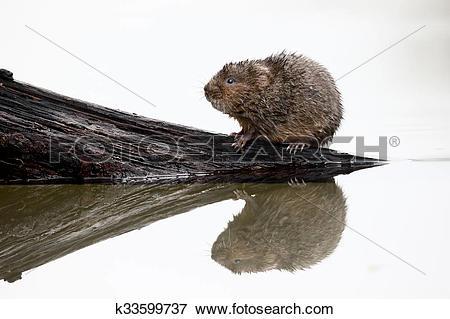Picture of Water vole, Arvicola amphibius k33599737.