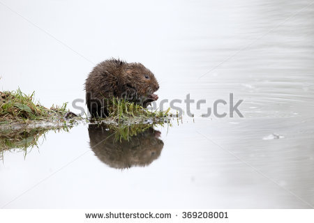 Water Vole In Water Stock Photos, Royalty.