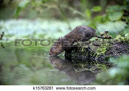 Stock Photography of Water vole, Arvicola terrestris k15763281.