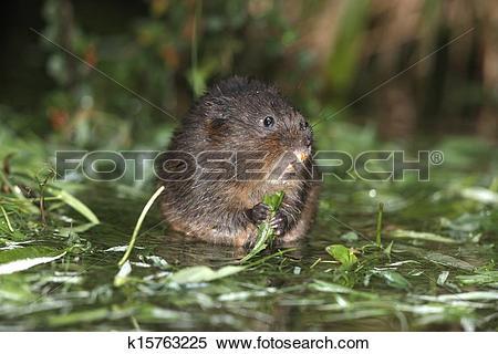 Stock Image of Water vole, Arvicola terrestris k15763225.