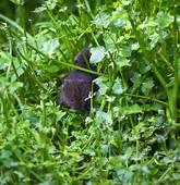 Stock Photograph of Water vole, Arvicola terrestris k17221169.