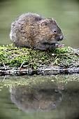 Stock Photography of Water vole, Arvicola terrestris k15763350.