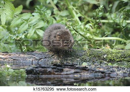 Stock Image of Water vole, Arvicola terrestris k15763295.