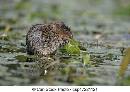 Stock Photo of Water vole, Arvicola terrestris, single mammal by.