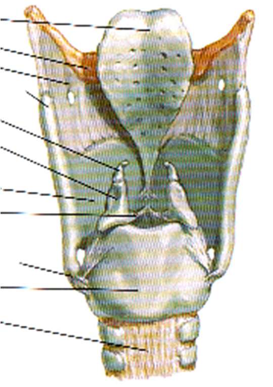 Corniculate Cartilages The Corniculate Cartilages.