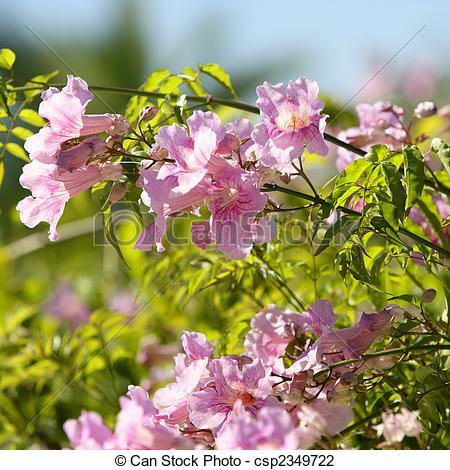 Stock Photo of Asarina Erubescens. Escrofulariaceas flowers.