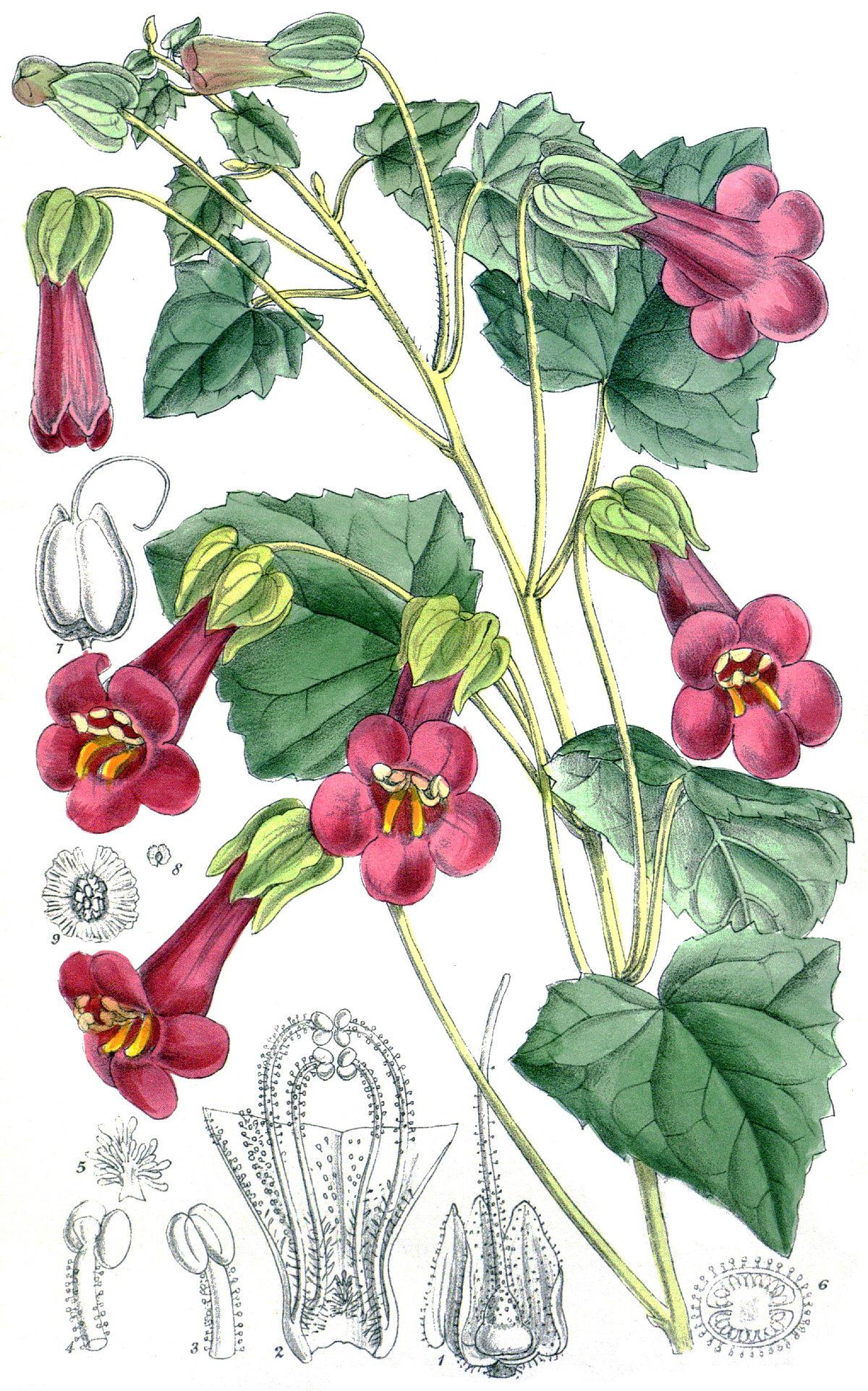 Lophospermum purpusii.