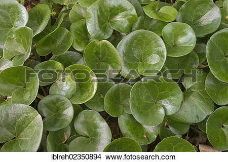 "Stock Photo of ""Asarabacca, European Wild Ginger, Hazelwort or."