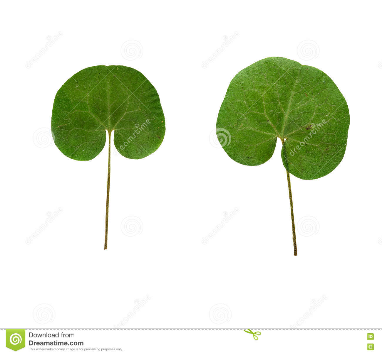 Pressed And Dried Leaf Asarum Europaeum Isolated Stock Photo.