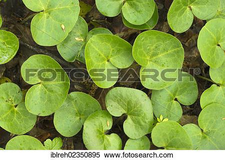 "Stock Image of ""Asarabacca, European Wild Ginger, Hazelwort or."