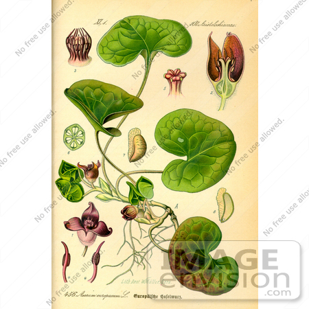 Picture of Asarabacca, European Wild Ginger, Haselwort, Wild.