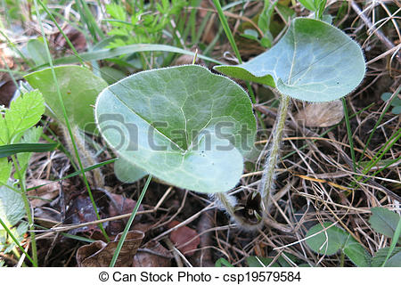 Pictures of Asarabacca, European wild ginger, Hazelwort and Wild.