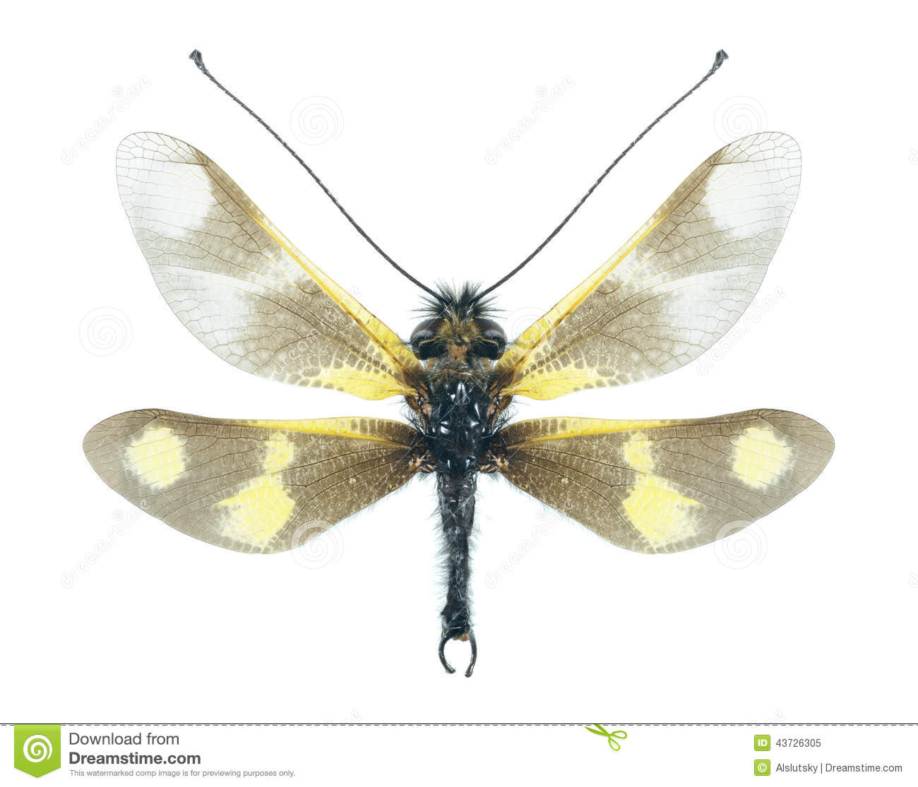 Ascalaphus Libelloides Macaronius (female) Stock Photo.