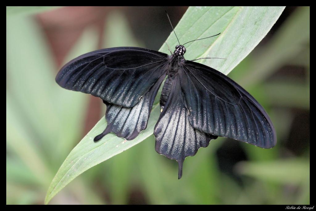 Papilio ascalaphus.