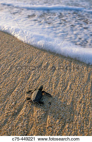 Stock Photography of Baby Green Sea Turtle (Chelonia mydas.