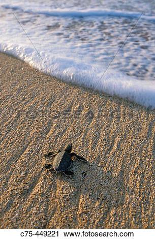 Stock Photography of Baby Green Sea Turtle (Chelonia mydas.