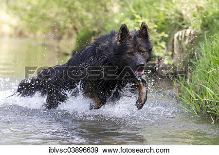 """Stock Photograph of """"Longhaired Old German Shepherd Dog playing in."""