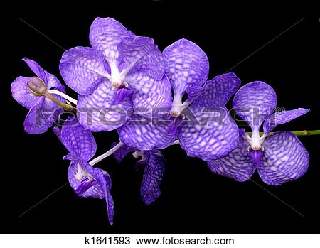 Stock Photo of Blue vanda.
