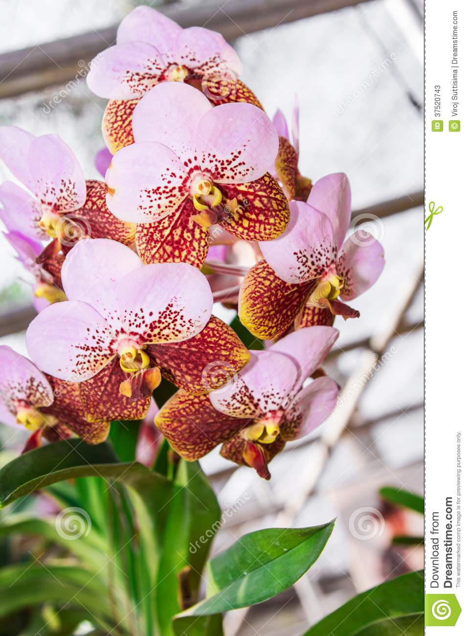 Ascocenda Orchid. Stock Photos.