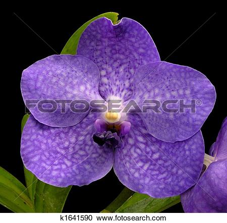 Stock Photography of Blue vanda.