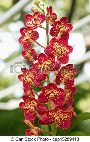 Stock Photography of Red Orchid ,Ascocenda orchid.