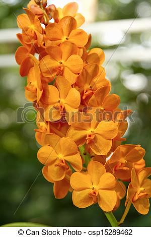 Stock Image of Orange Orchid ,Ascocenda orchid csp15289462.