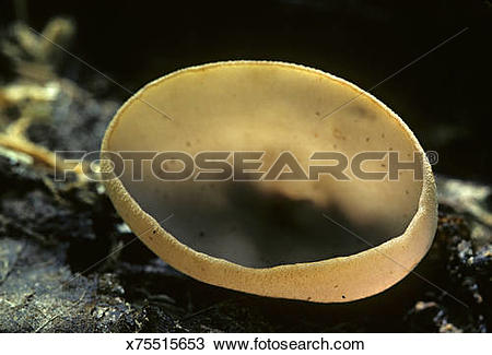 Stock Photo of Brown Cup Fungus, Peziza sp, (Ascomycetes). Asci.