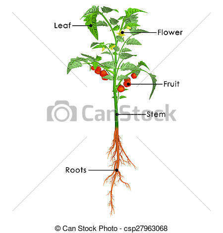 Stock Illustration of Alternaria attacked plant.
