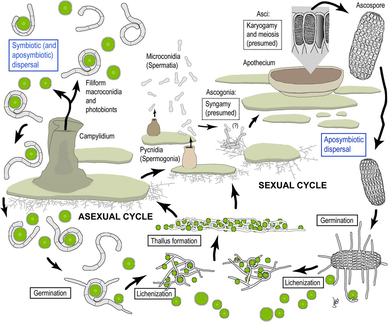 Complete life cycle of the lichen fungus Calopadia puiggarii.