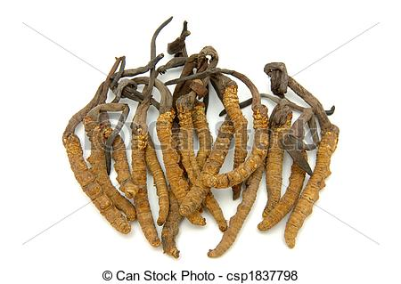 Pictures of Cordyceps (a genus of ascomycete fungi) in isolated.