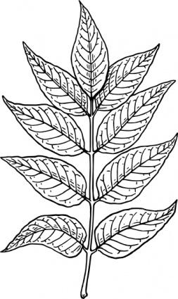Ash Leaves clip art free vector.
