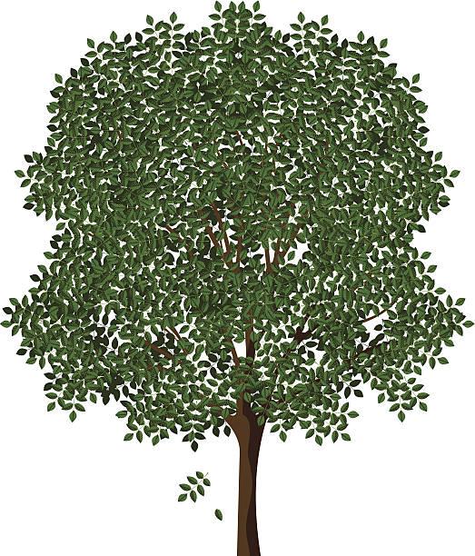 Best Ash Tree Illustrations, Royalty.