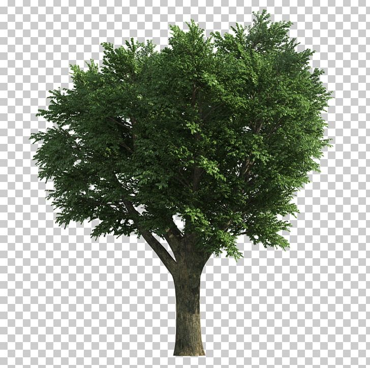Tree Ash Stock Photography PNG, Clipart, Ash, Bathroom, Branch.