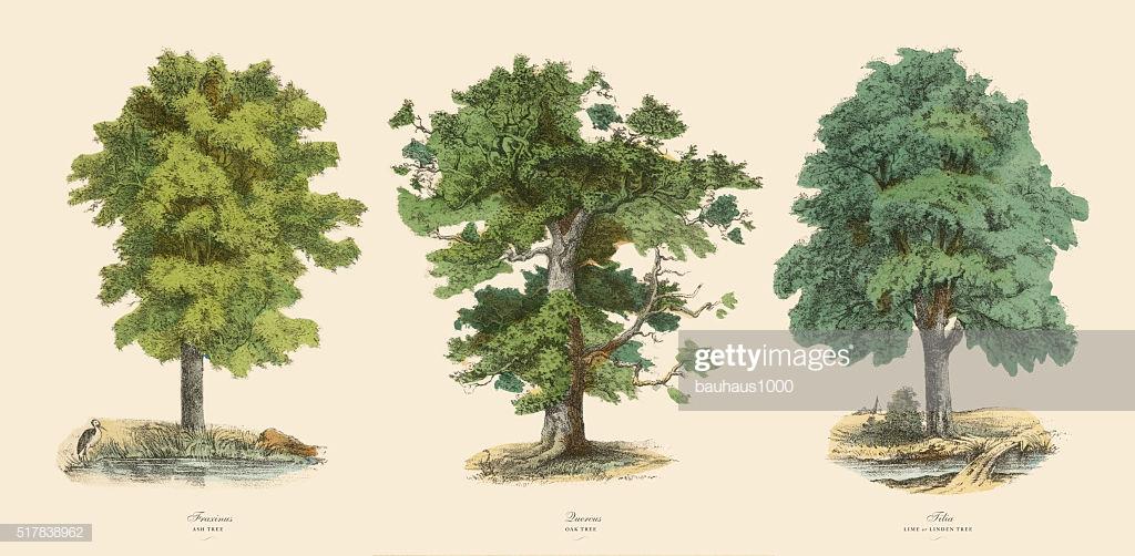 60 Top Ash Tree Stock Illustrations, Clip art, Cartoons, & Icons.