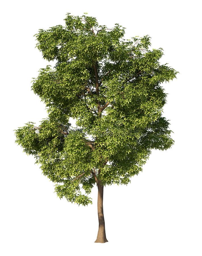 Ash Tree Stock Illustrations.