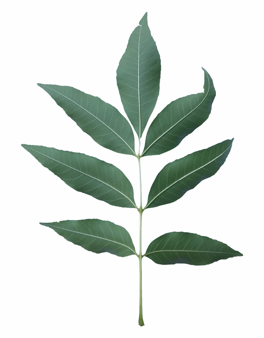 Ash Tree Leaf Png.