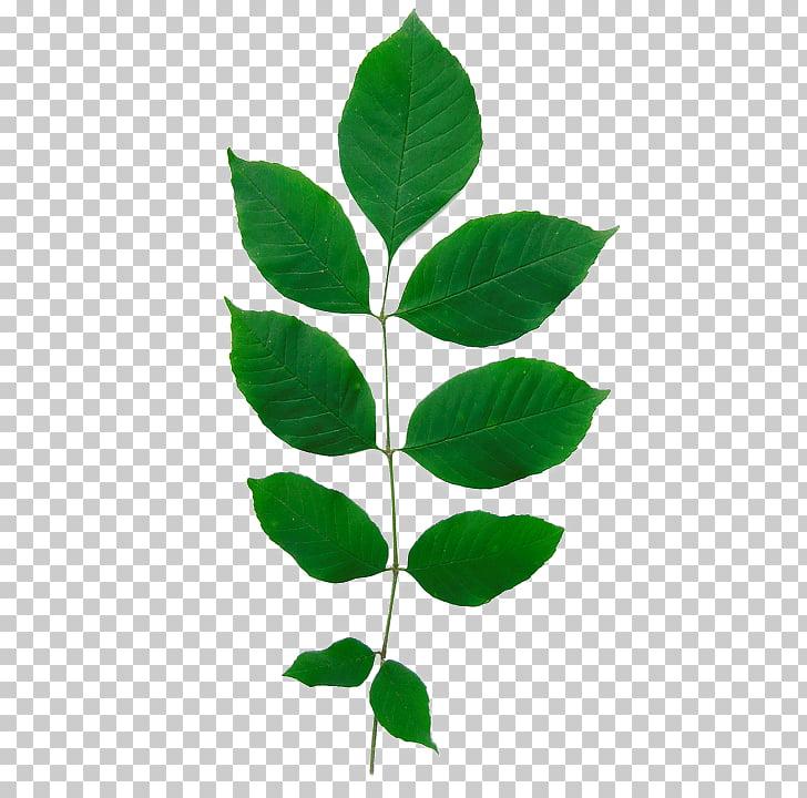 Fraxinus americana Green Ash Emerald ash borer Leaf Tree.
