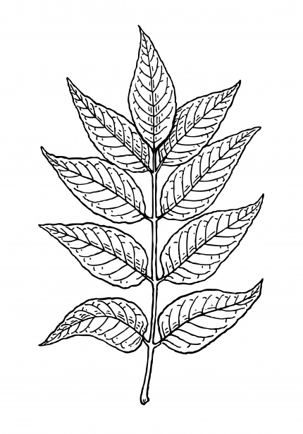 Leaves Of Ash Tree Clipart Free Stock Photo.