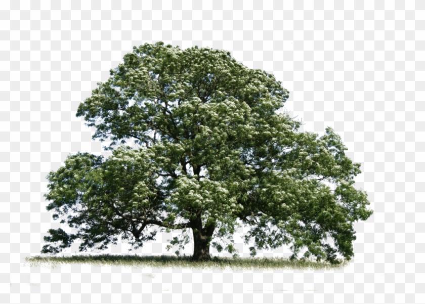 Trees Transparent Ash.