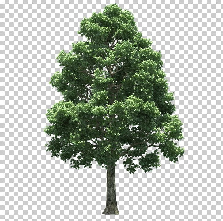 Tree PNG, Clipart, Ash, Bark, Biome, Evergreen, Houseplant Free PNG.