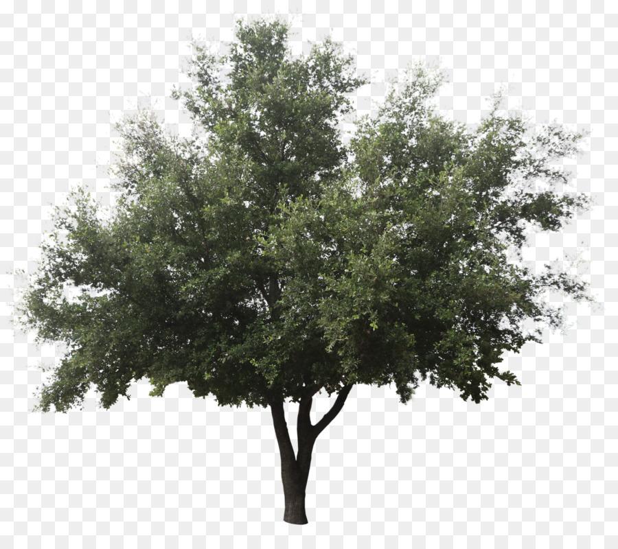 Oak Tree png download.
