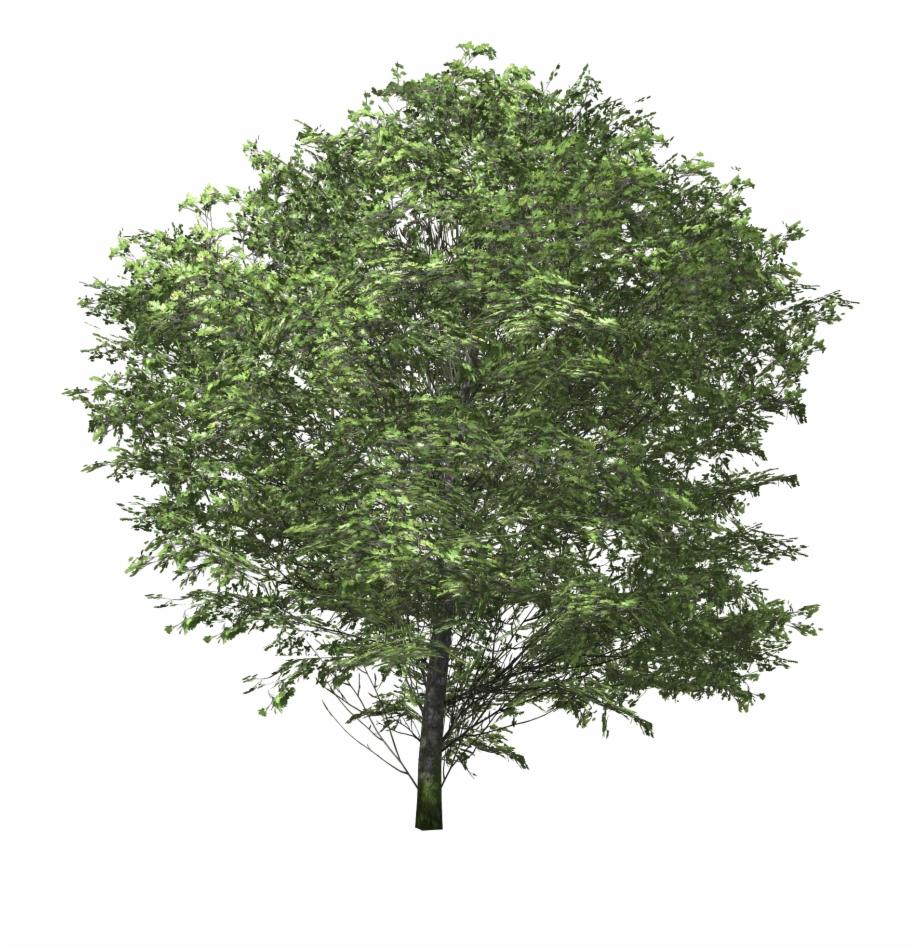 Tree Euonymus Fortunei Shrub.