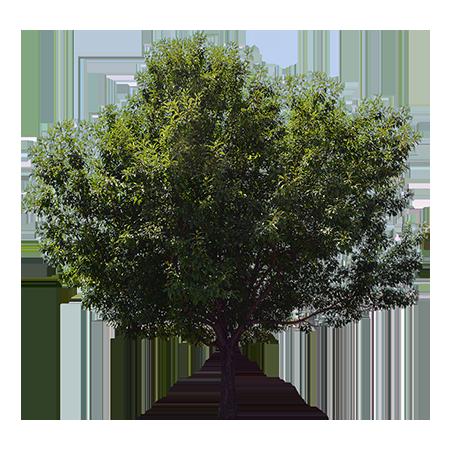 A tall green ash tree providing shade on a hot day..