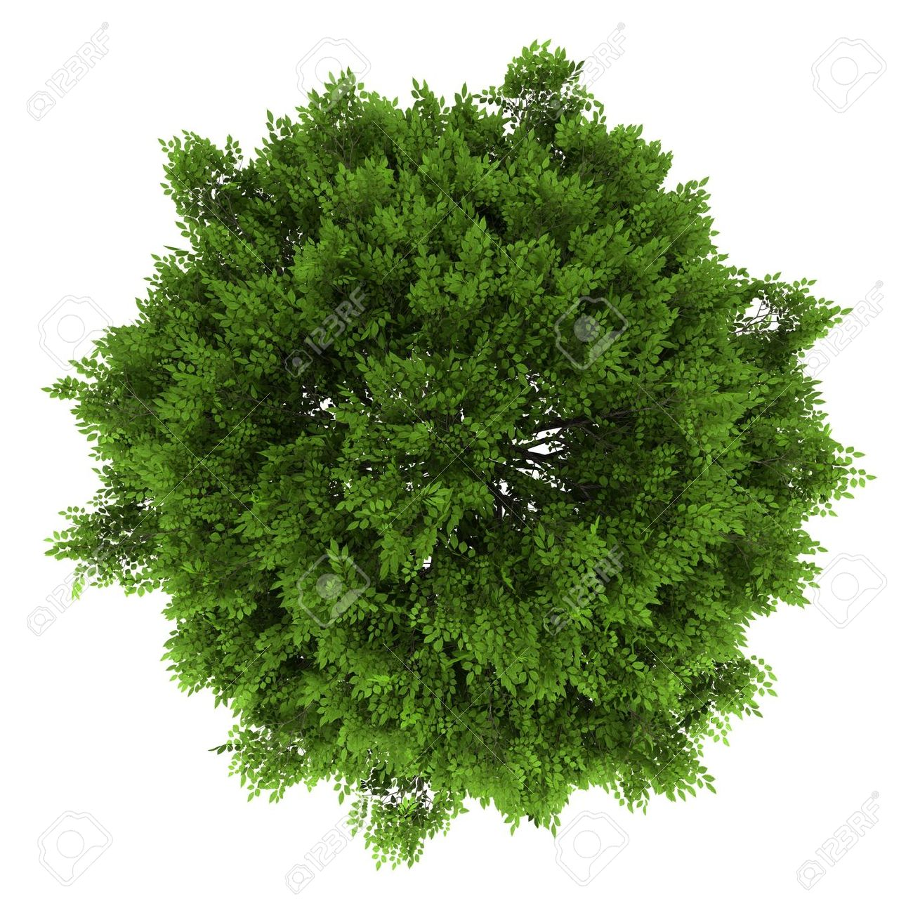 Top View Of European Ash Tree Isolated O #45042.