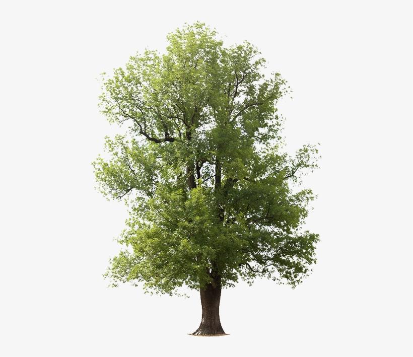 Transparent Tree Ash.